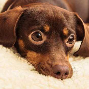 Chihuahua Dachshund Puppies