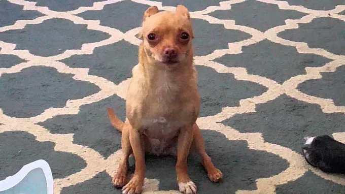 Chihuahua Diarrhea