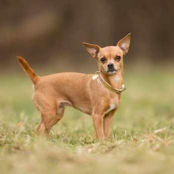Chihuahua Dog Breeding
