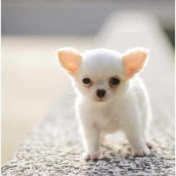 Chihuahua Dog Facts