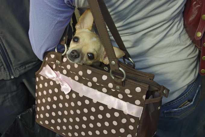 Chihuahua Dog Purse