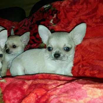 Chihuahua Dogs For Sale