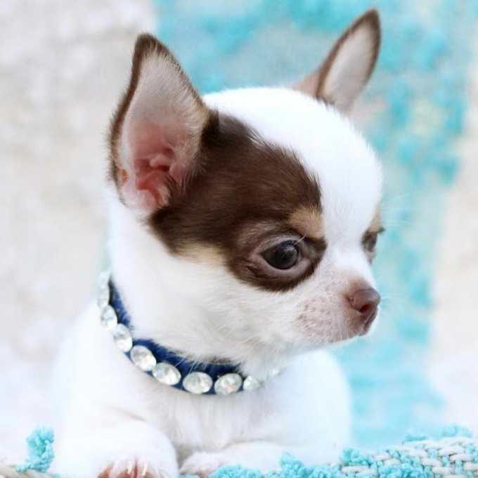 Chihuahua Dreams