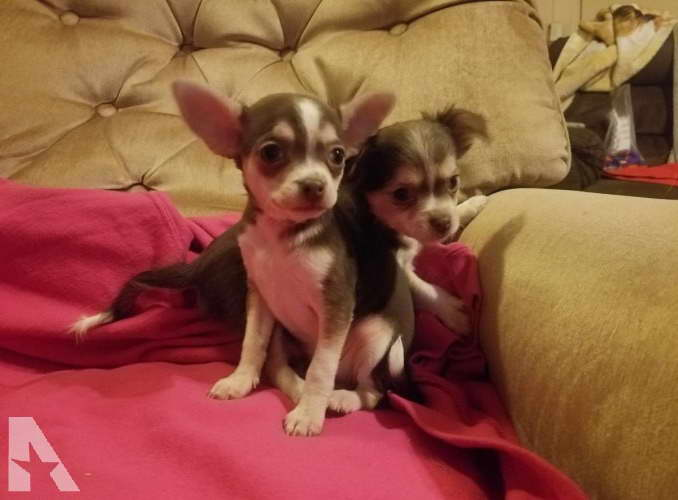 Chihuahua For Sale Illinois