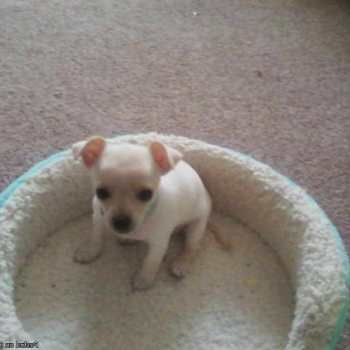 Chihuahua For Sale In Arkansas