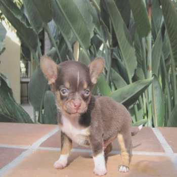 Chihuahua For Sale In Ct