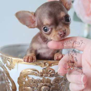 Chihuahua For Sale In Miami