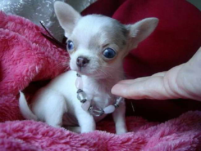 Chihuahua For Sale In Oklahoma