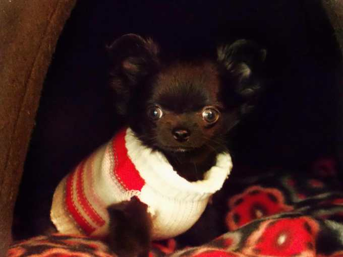 Chihuahua For Sale In Wisconsin