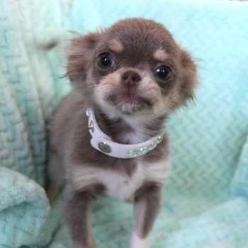 Chihuahua For Sale Las Vegas