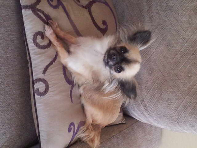 Chihuahua For Sell