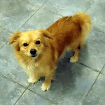 Chihuahua Golden Retriever Mix For Sale
