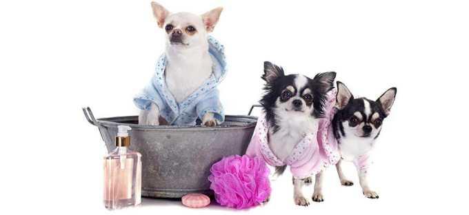 Chihuahua Grooming