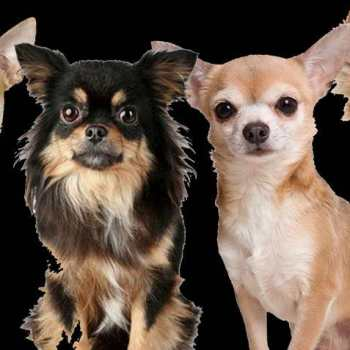 Chihuahua Groups