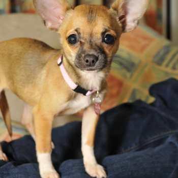 Chihuahua Helps Asthma