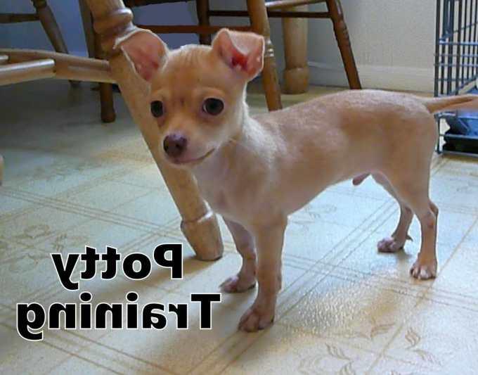Chihuahua Housebreaking