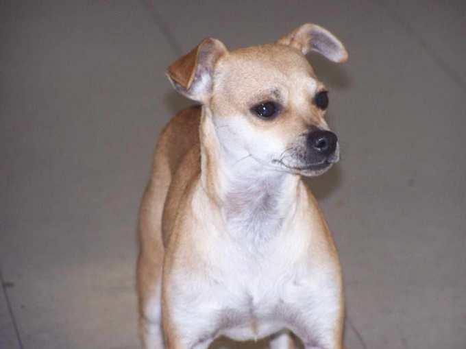 Chihuahua Italian Greyhound Puppy