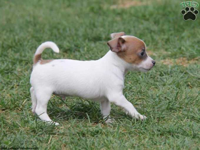 Chihuahua Jack Russell Terrier Mix Puppies For Sale