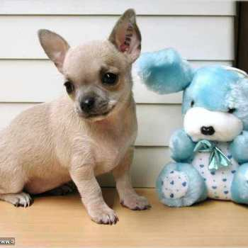 Chihuahua Kennels