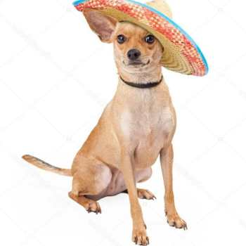 Chihuahua Mexican Dog