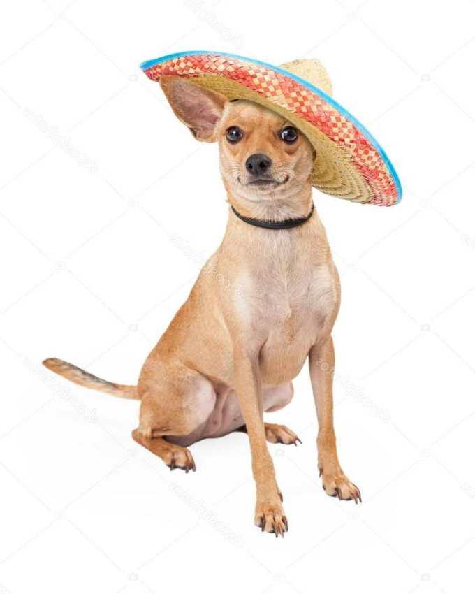 Chihuahua Mexican Dog