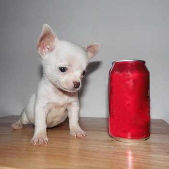 Chihuahua Mini Toy Precios