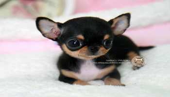 Chihuahua Puppies For Sale In Michigan Pets And Dogs