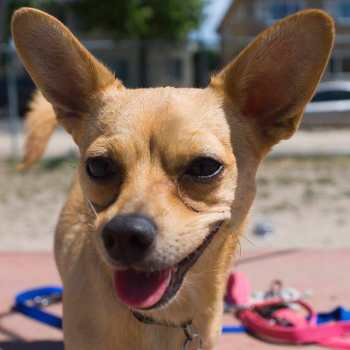 Chihuahua Mix With Terrier