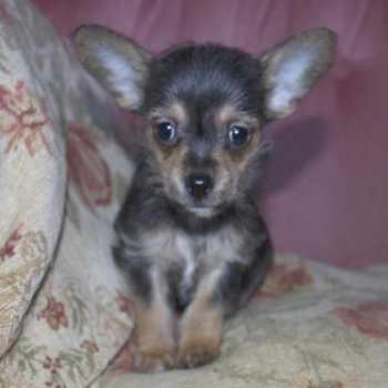 Chihuahua Mix With Yorkie For Sale