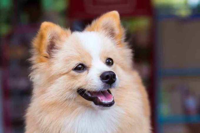 Chihuahua Mixed With Pomeranian