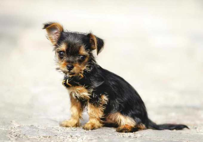 Chihuahua Mixed With Yorkie