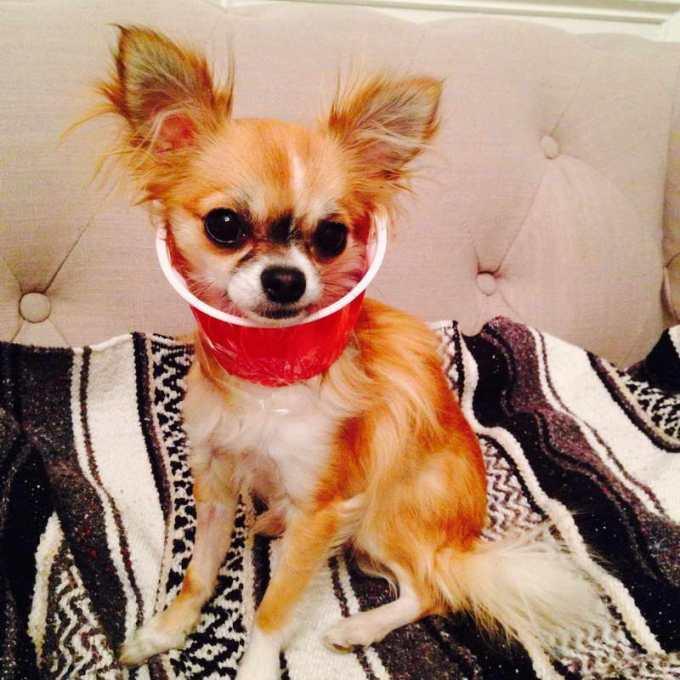 Chihuahua Neuter