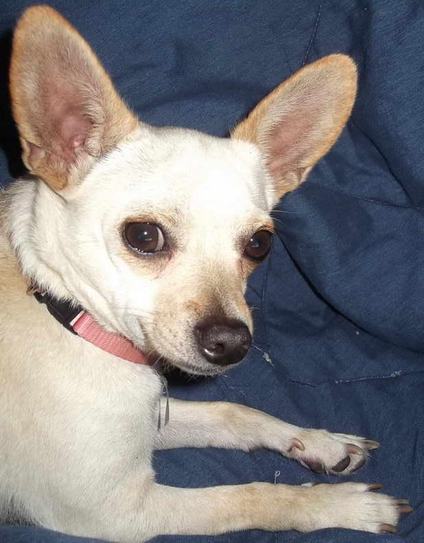 Chihuahua North Carolina