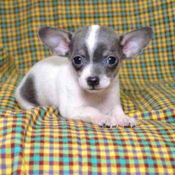 Chihuahua Ohio