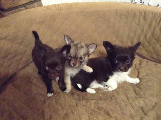 Chihuahua Papillon Puppies For Sale