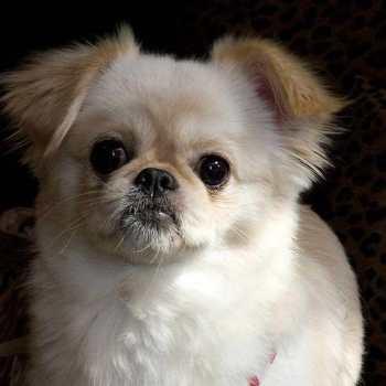 Chihuahua Pekingese Puppies