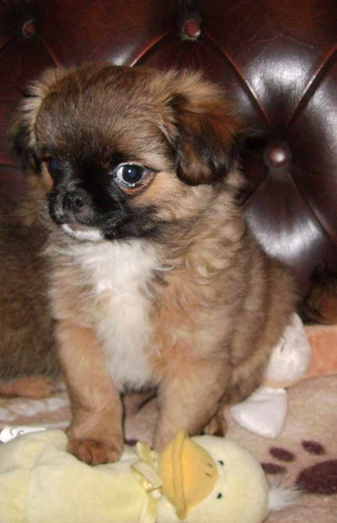 Chihuahua Pekingese Puppies For Sale