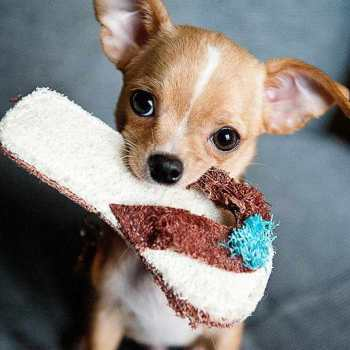 Chihuahua Perros