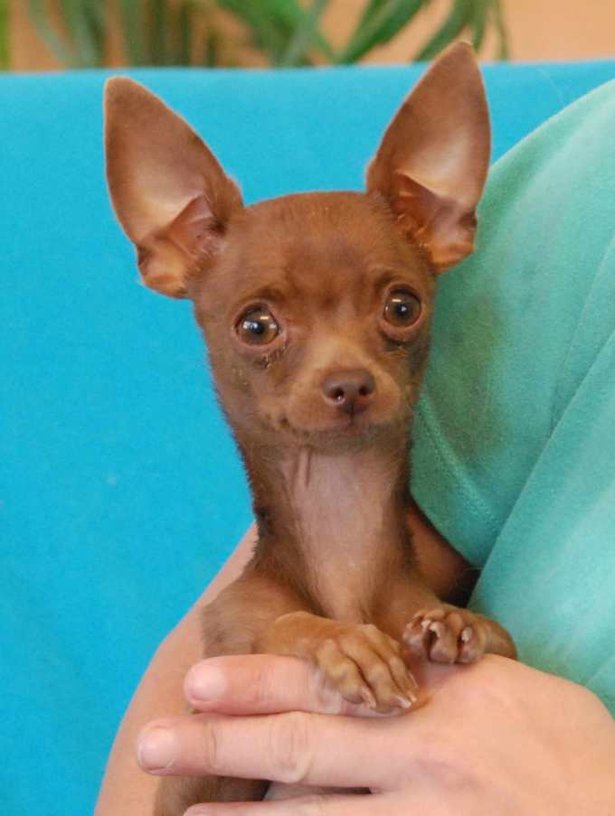 Chihuahua Pet Rescue