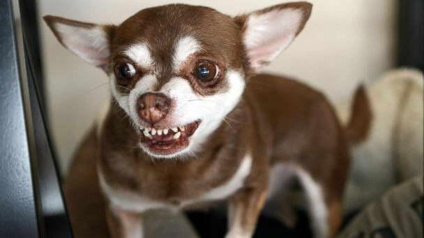 Chihuahua Phoenix
