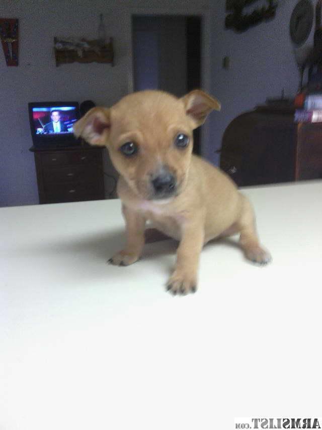 Chihuahua Pitbull Mix Price