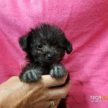 Chihuahua Poodle Mix For Sale