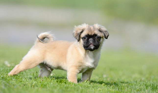 Chihuahua Pug