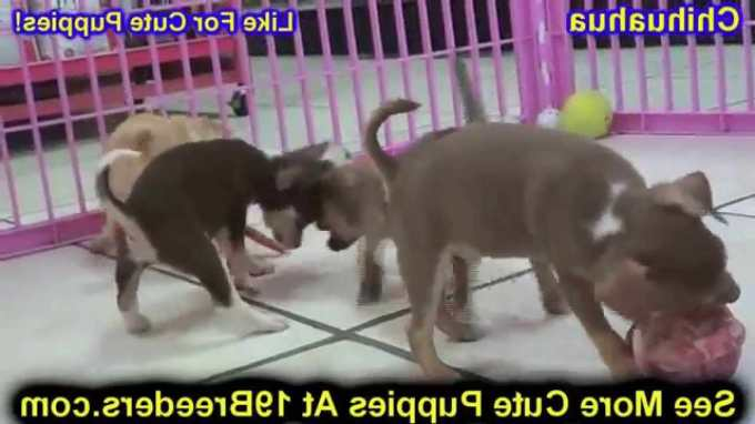 Chihuahua Puppies Albuquerque