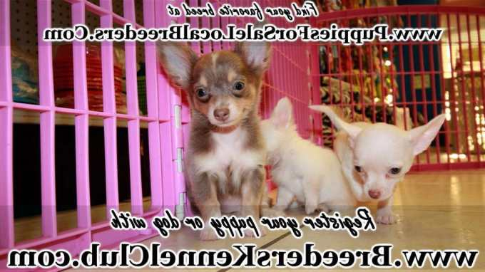 Chihuahua Puppies Augusta Ga