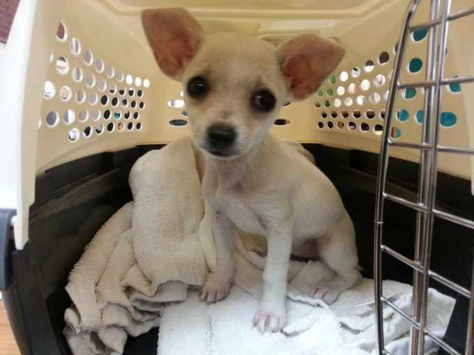 Chihuahua Puppies Bay Area