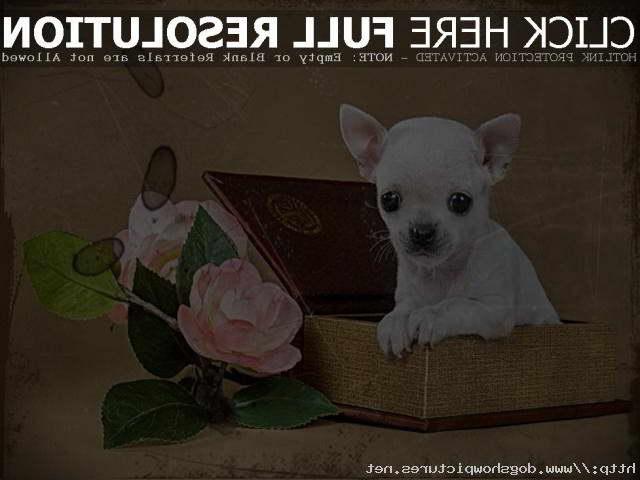 Chihuahua Puppies Craigslist