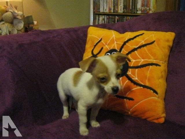 Chihuahua Puppies Ct