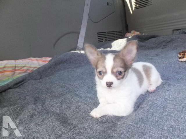 Chihuahua Puppies Dayton Ohio