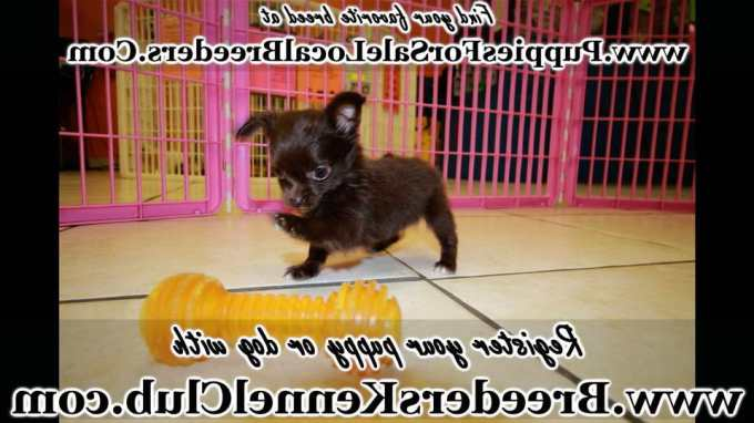 Chihuahua Puppies For Sale Augusta Ga